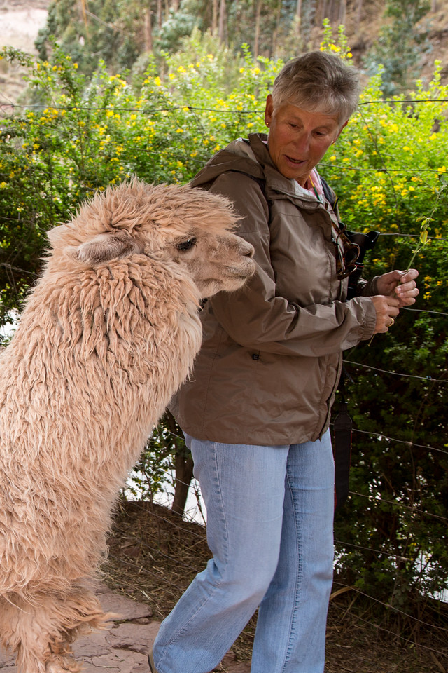 This alpaca wanted to be fed by Julie, but she wouldn't share. I have sympathy with that alpaca.