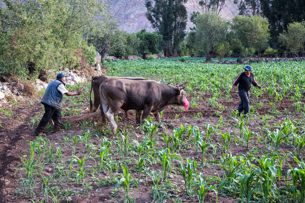 We walked by this farm on our way into town and watched how they plowed the field using oxen