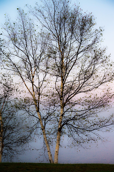 Almost leafless, this tree presents a stark picture against the early morning fog at Five Lakes