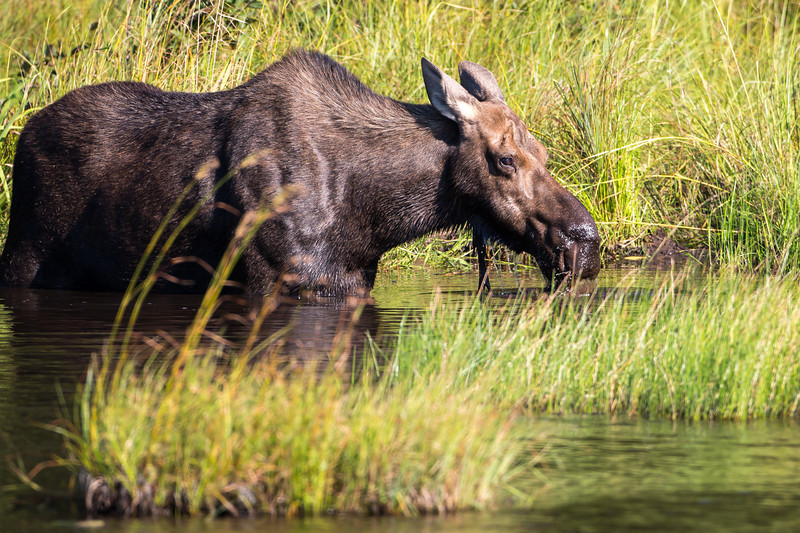 Our search for moose along the Golden Road of northern Maine finally was rewarded