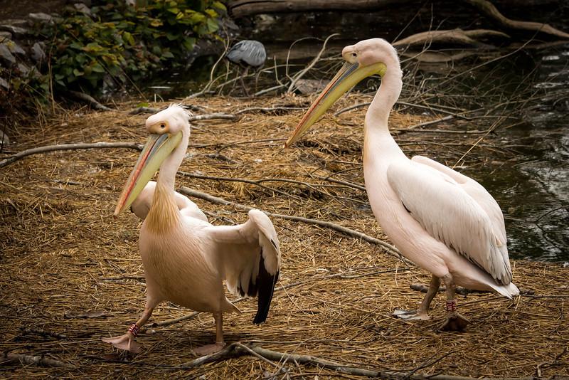 Pink pelicans