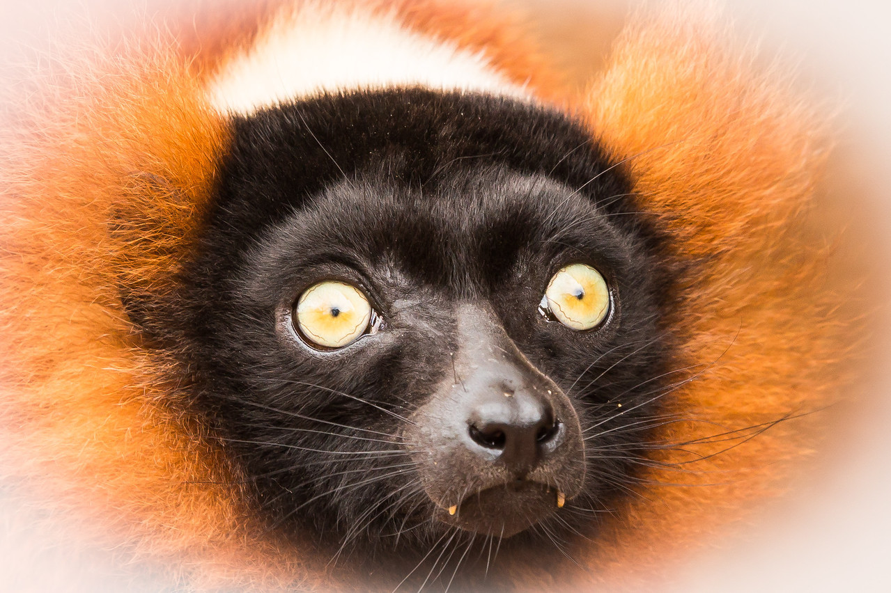 The eyes of Lemur
