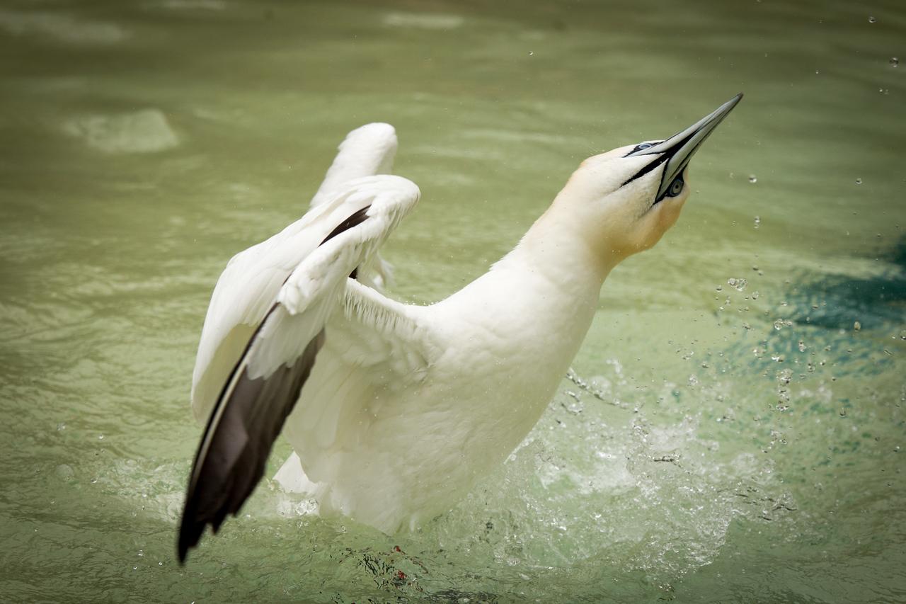 Exuberant northern gannet