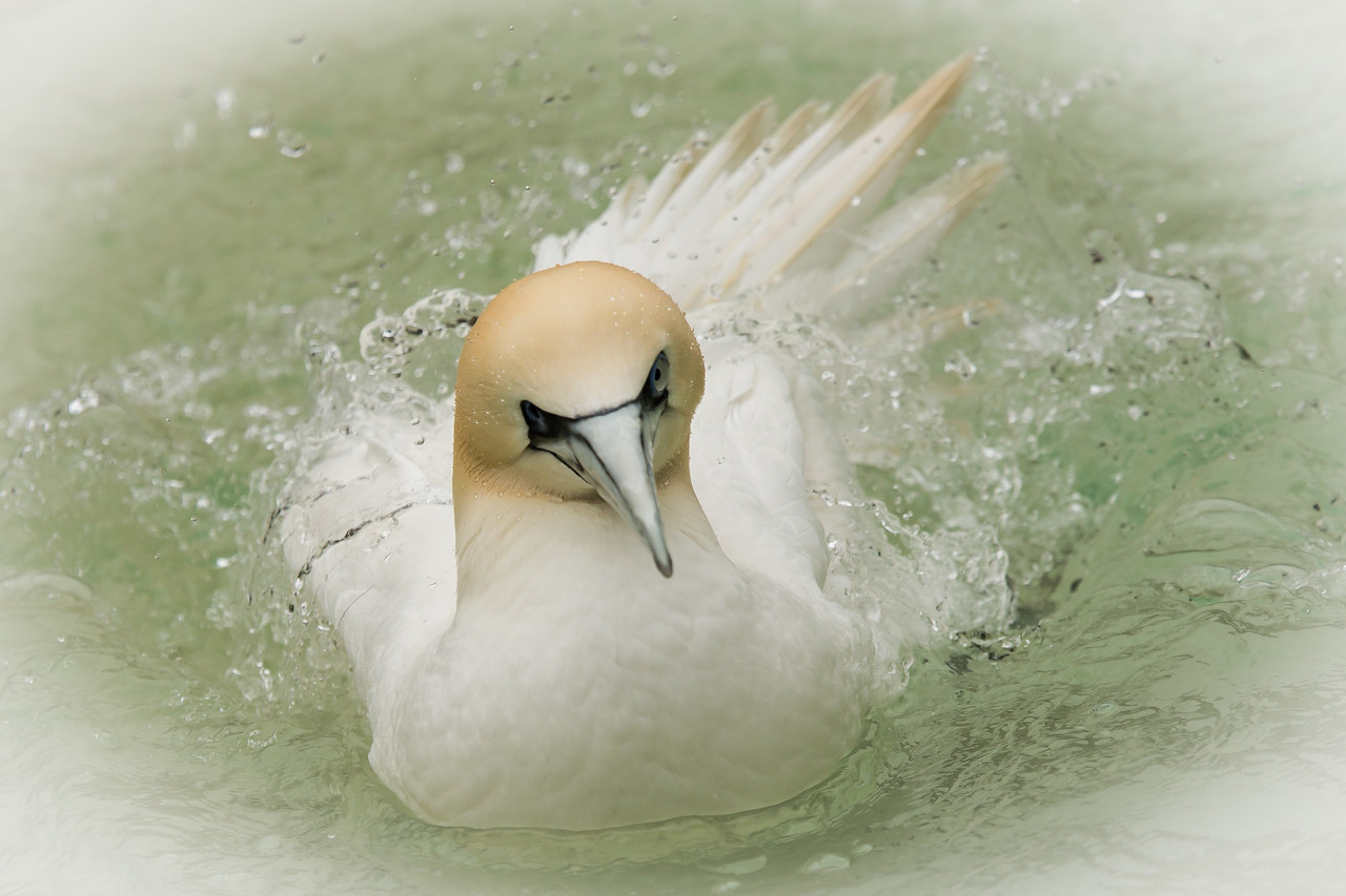 Amsterdam has a world-class zoo, called Artis, which we visited for a day. This is a beautiful northern gannet.