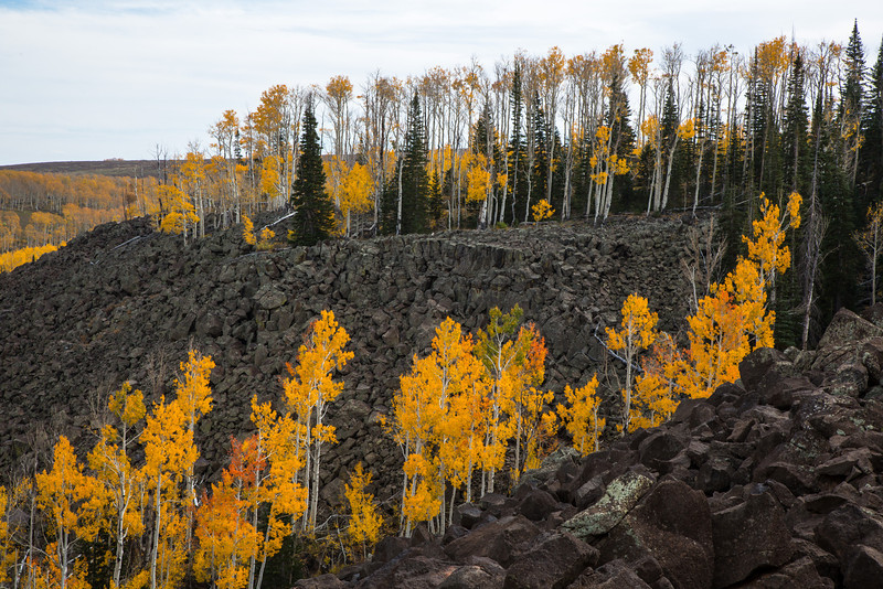 Aspens growing among a large lava field