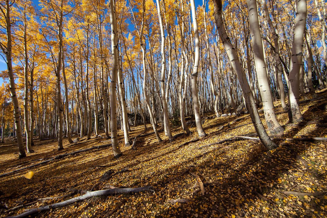 A carpet of leaves near Brian Head