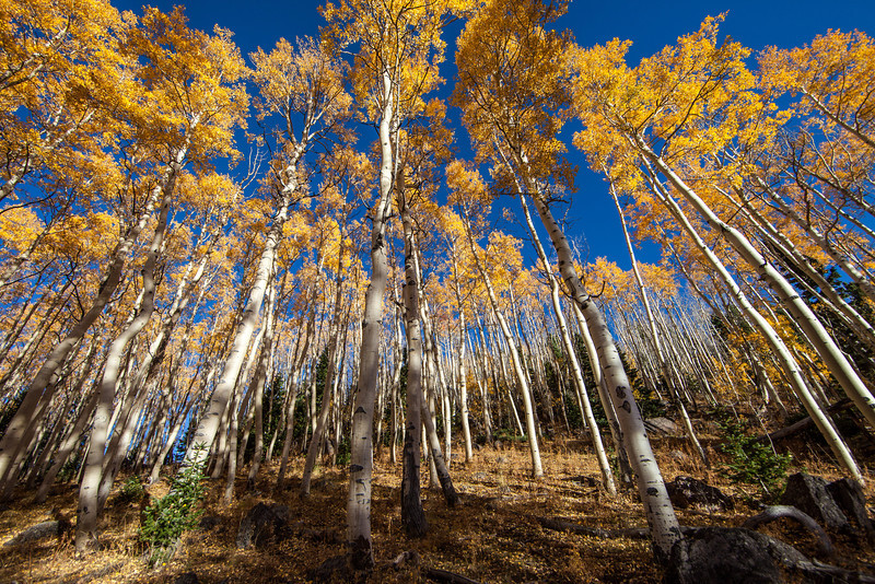 A wide angle view of Aspens near Brian Head ski area
