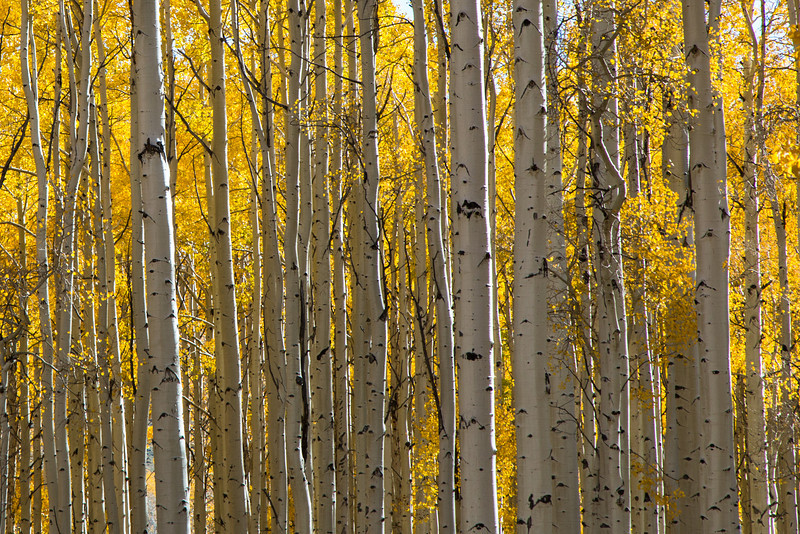 The Aspens are plentiful