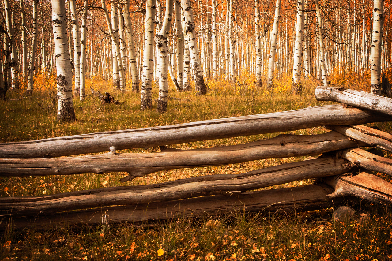Aspens along the Kolob Terrace road, a magnificent backcountry drive.