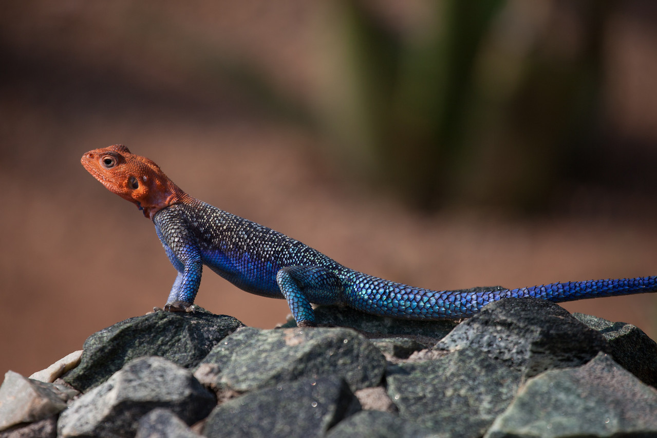 This small, colorful Agama Lizard is about 6 inches in length. It is common throughout sub-Sahara Africa.