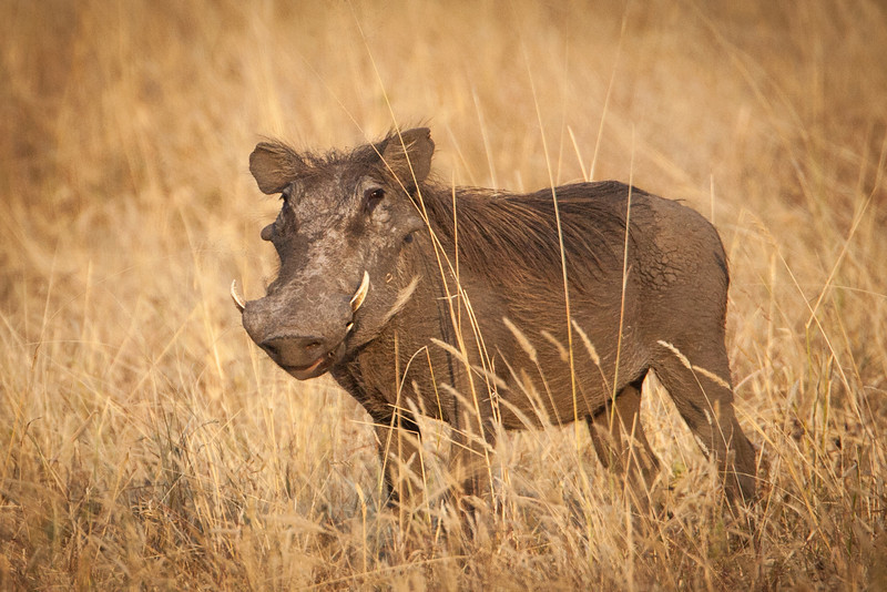 Now here's a real beauty of the animal kingdom, the Warthog. They live in abandoned termite mounds and are primarily grazers.