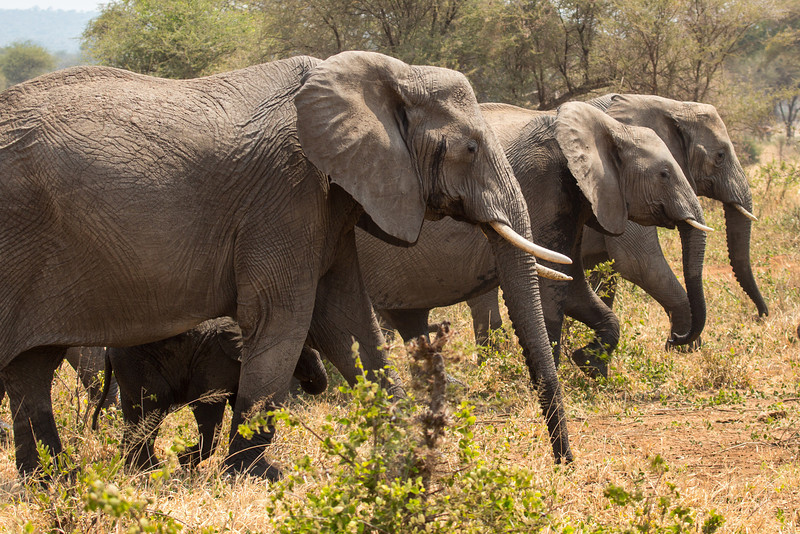We came across herds of elephants daily, usually 10-15 individuals in a herd.