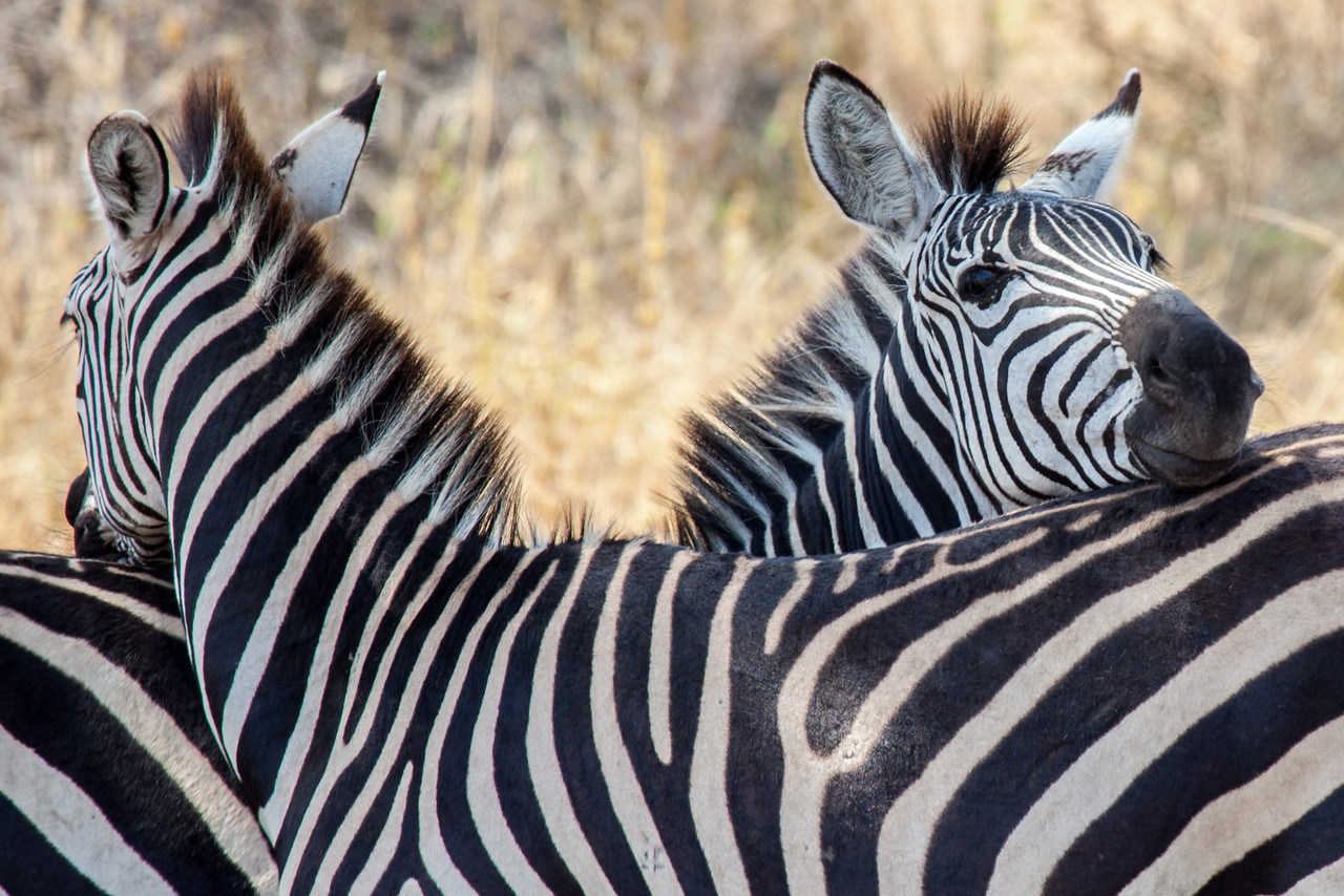 Zebras are a common sight throughout Tanzania and Kenya. Relatives of the horse family, Zebras are very social animals.