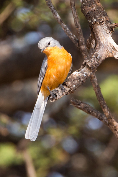 The Silverbird, a member of the flycatcher family, lives on beetles, caterpillars, ants and termites.