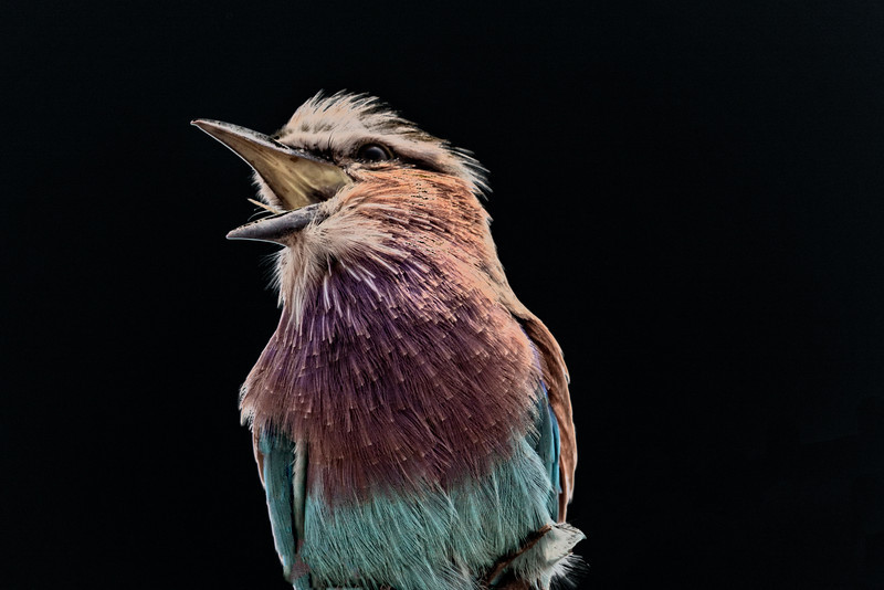 But I did capture this Lilac-breasted Roller squawking about the lack of any insects nearby for his evening dinner.