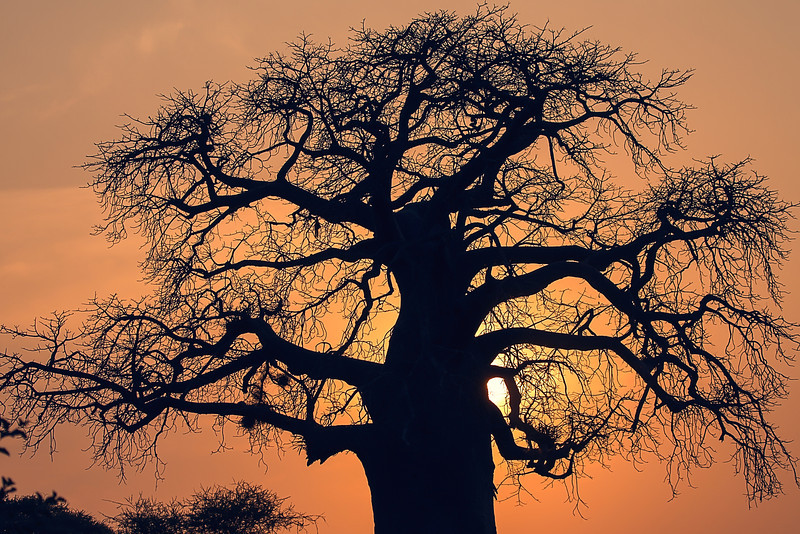 We were usually in the game preserves as sunset approached but regulations require us to be out of the park at sunset. So we would capture the setting sun and then our cooperative drivers would race for the exits, often many miles away. You'll now know this tree as the baobab tree.