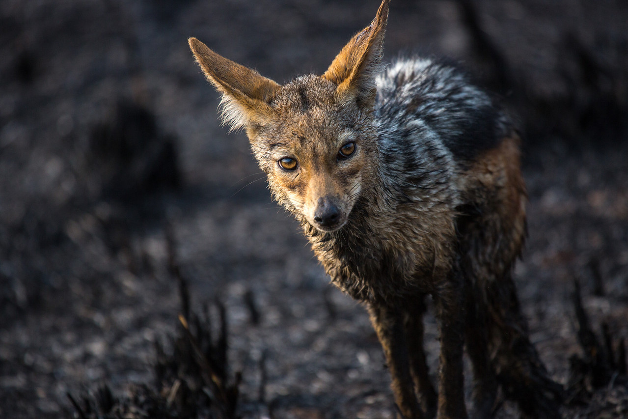 In the same burned area, this Jackal came up to the Land Cruiser, looking gaunt and unwell. Jackals mate for life, live about 8-10 years, and are intelligent in their cooperative behavior to capture prey.
