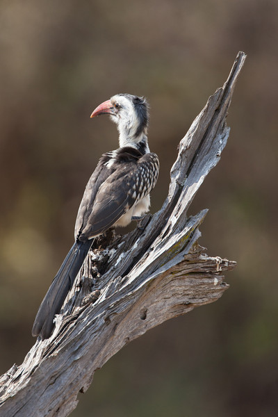 The Red-billed Hornbill is common in East Africa and is omnivorous, eating insects, fruits, and seeds.
