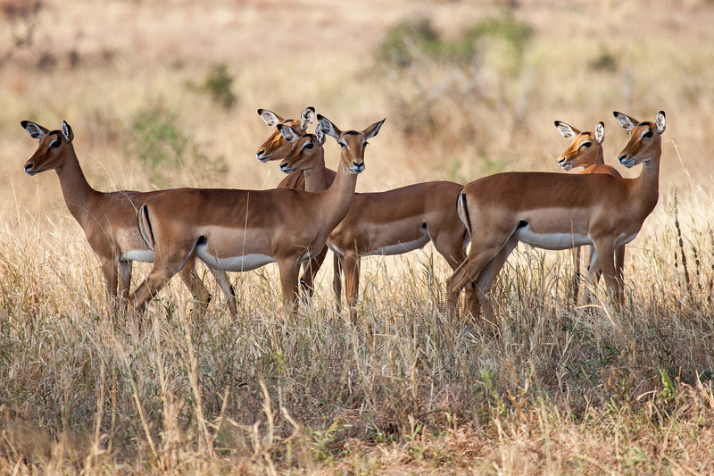 """Here's a """"head turning"""" photo of female impalas curious about our presence."""