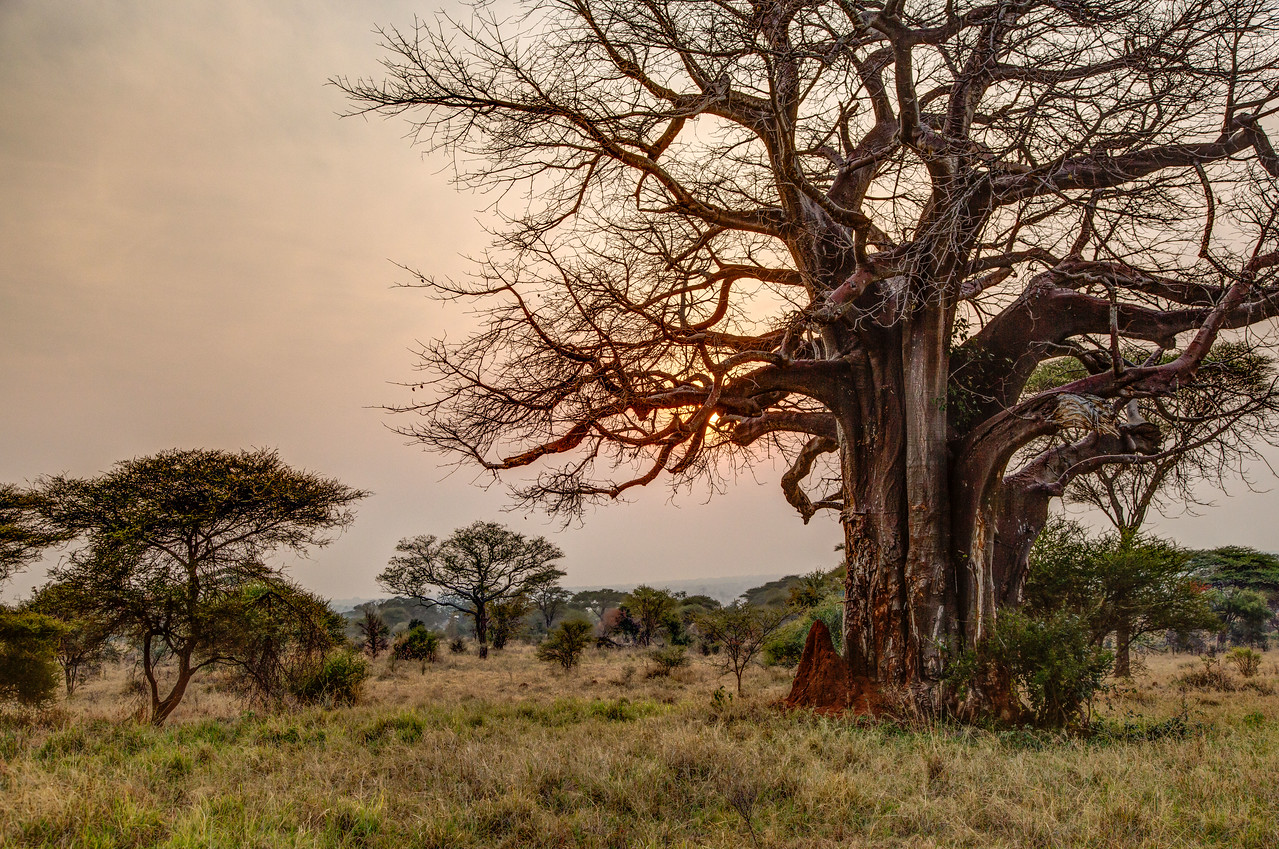 Another baobab tree with the sun rising behind it.