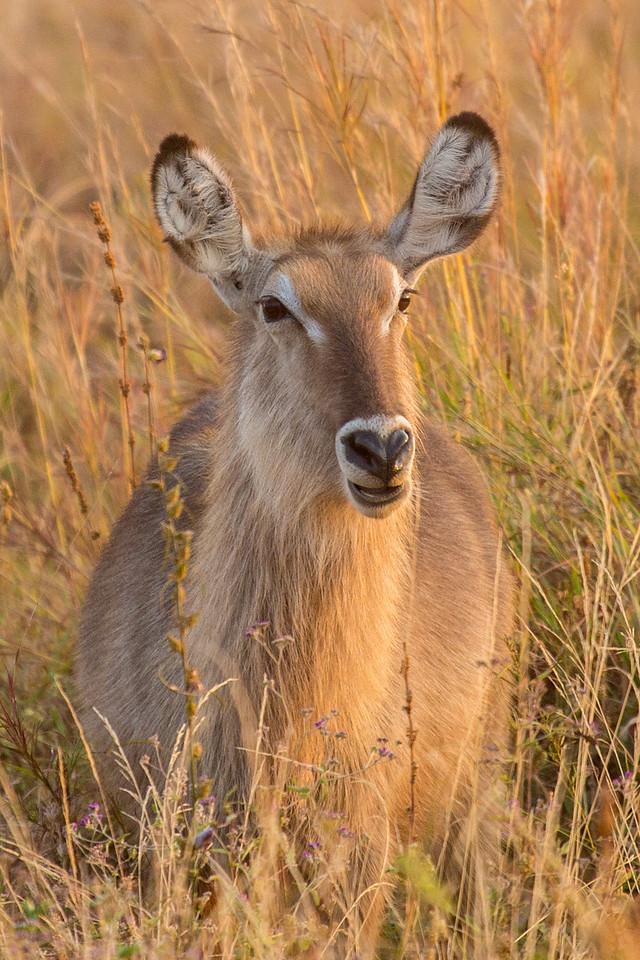 A young female waterbuck grazing.