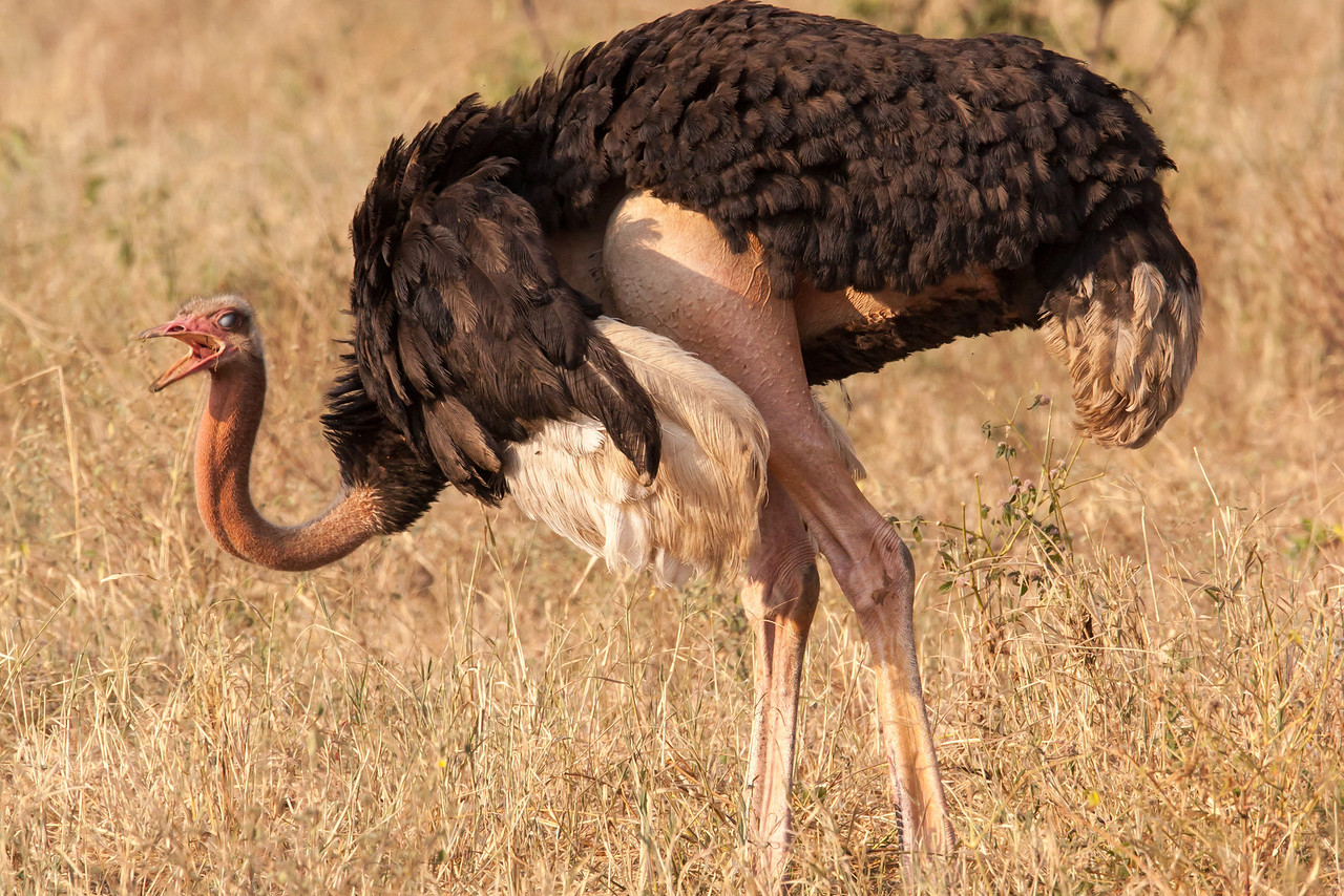 This male ostrich was calling to its mate to look at its shapely leg which it revealed by moving its wing forward.