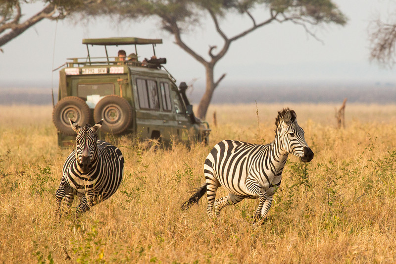A couple of zebra scampering about in playful activity. That's one of our Land Cruisers in the background with the top up and cameras out.