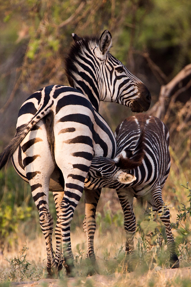 Unlike the horse, zebras have never been successfully domesticated.