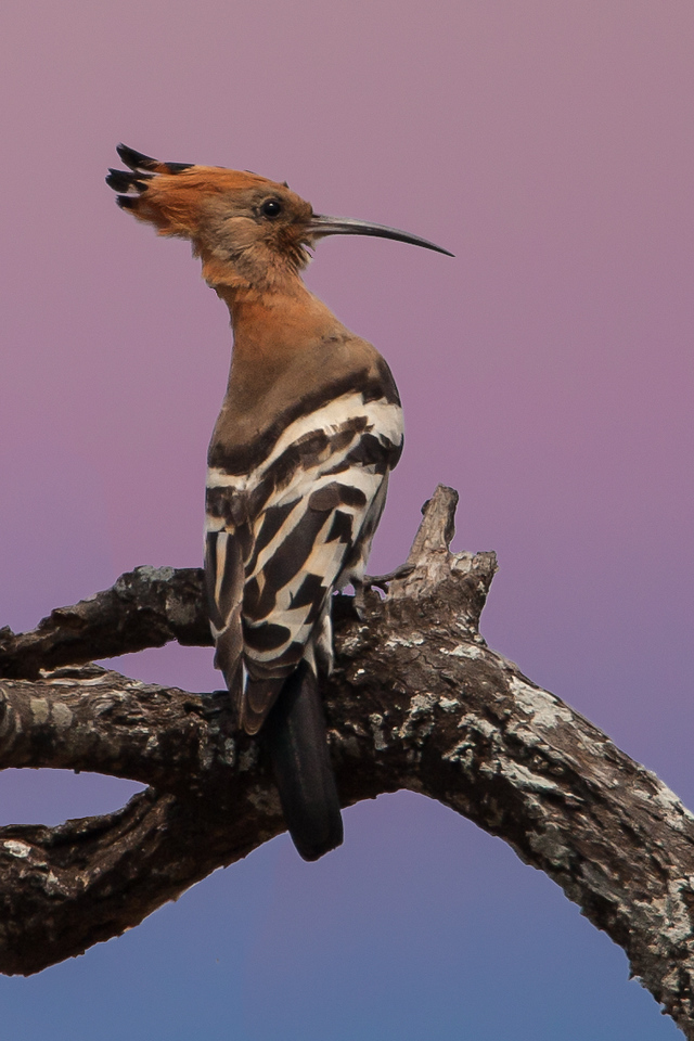 Meet a Hoopoe, who lives in savannas and woodlands, living on lion larvae, insects, and frogs.