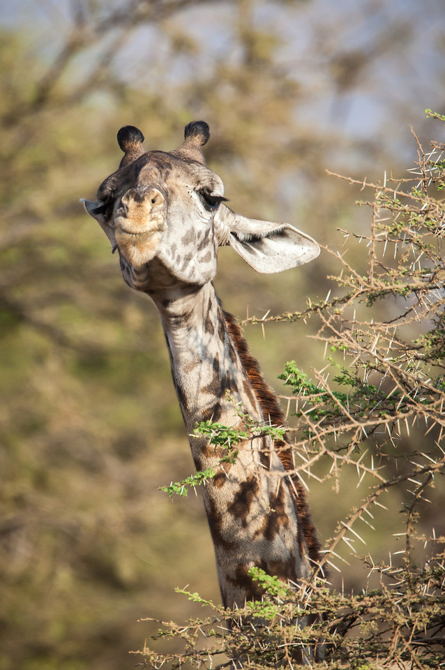I was amazed to see giraffes forging on very thorny trees only to learn later that their 20-inch long tongues and lips are especially tough to avoid being pierced.