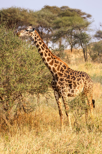 Watching Giraffes move is elegance in slow motion. These giants of the savannas will reach up to 20 feet in height and the males may weigh as much as 3500 pounds.