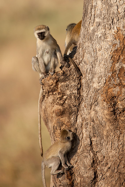 We enjoyed watching Vervet Monkeys frolicking in the trees. Vervets are conspicuous by their black faces and white fringe hair. The males will weigh an average of 12 pounds and the females 8 pounds.