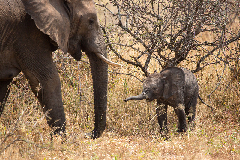 The gestation period for elephants is 22 months with usually only 1 young being born. Elephants live to about 60 years of age.