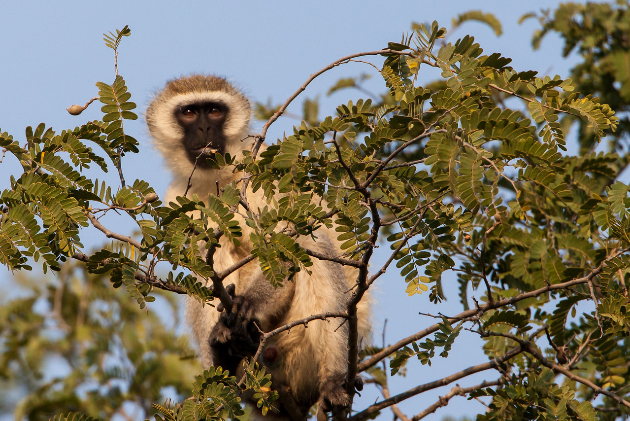 Sitting high in a tree this Vervet Monkey felt secure while peering at us.