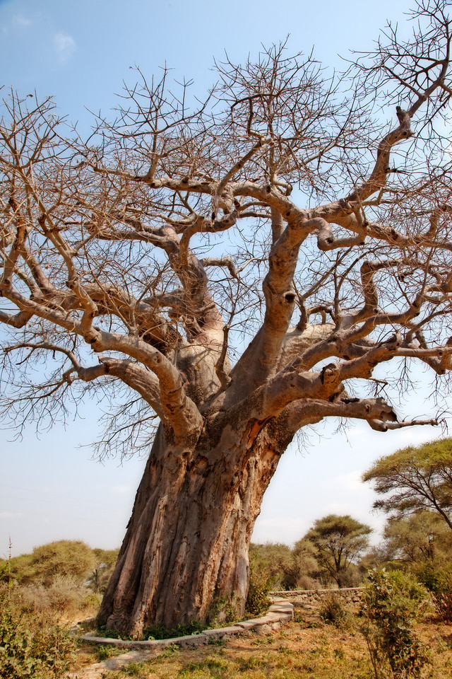 The baobab tree is deciduous (losing it's leaves in winter) and stores up to 30,000 gallons of water in its trunk to survive the arid periods.