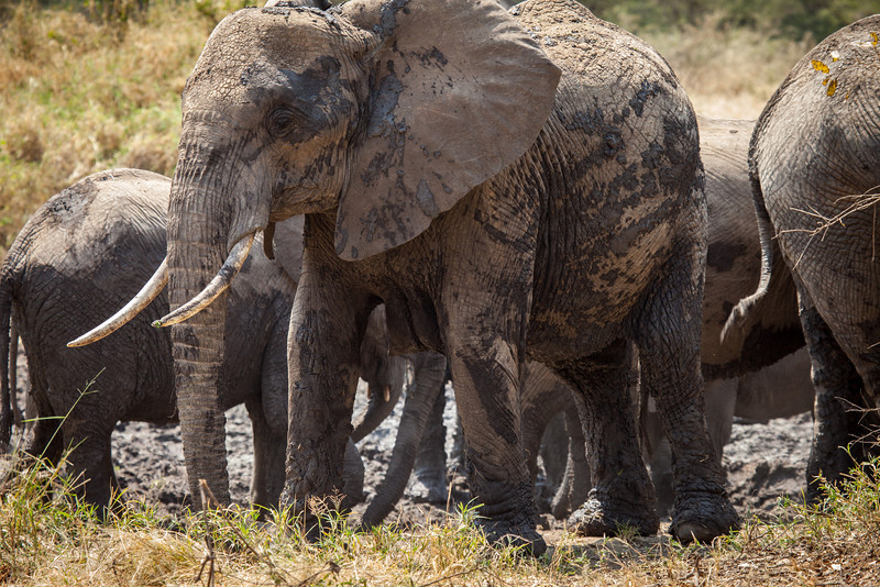 When not eating, elephants enjoy wallowing in mud pits, which helps keep them cool.