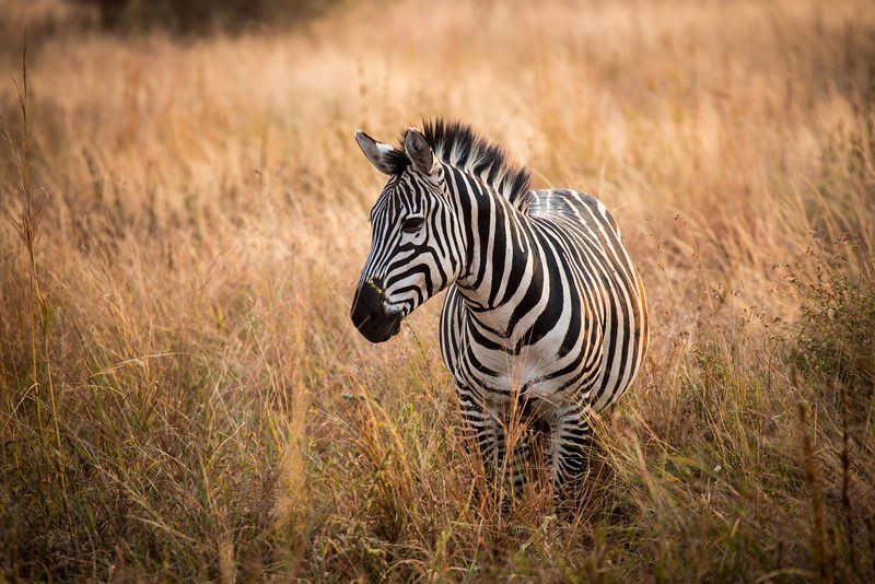 You may know that the stripes on a Zebra are like fingerprints on humans. None is identical. One thing I haven't figured out is if they're black stripes on white or white stripes on black.