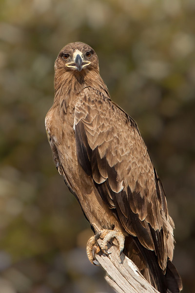 The Tawny Eagle is a big bird, about 30 inches in height and a wing span of up to 6 feet. It commonly feeds on dead meat, similar to vultures, but also will capture rodents and other small animals.