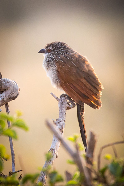 This white-brown Coucal lives a solitary life except when breeding and eats mainly caterpillars and grubs.
