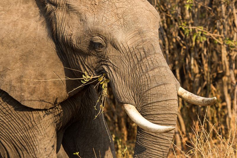 Elephants spend most of the day feeding and the males will weigh between 11,000 and 13,000 pounds.