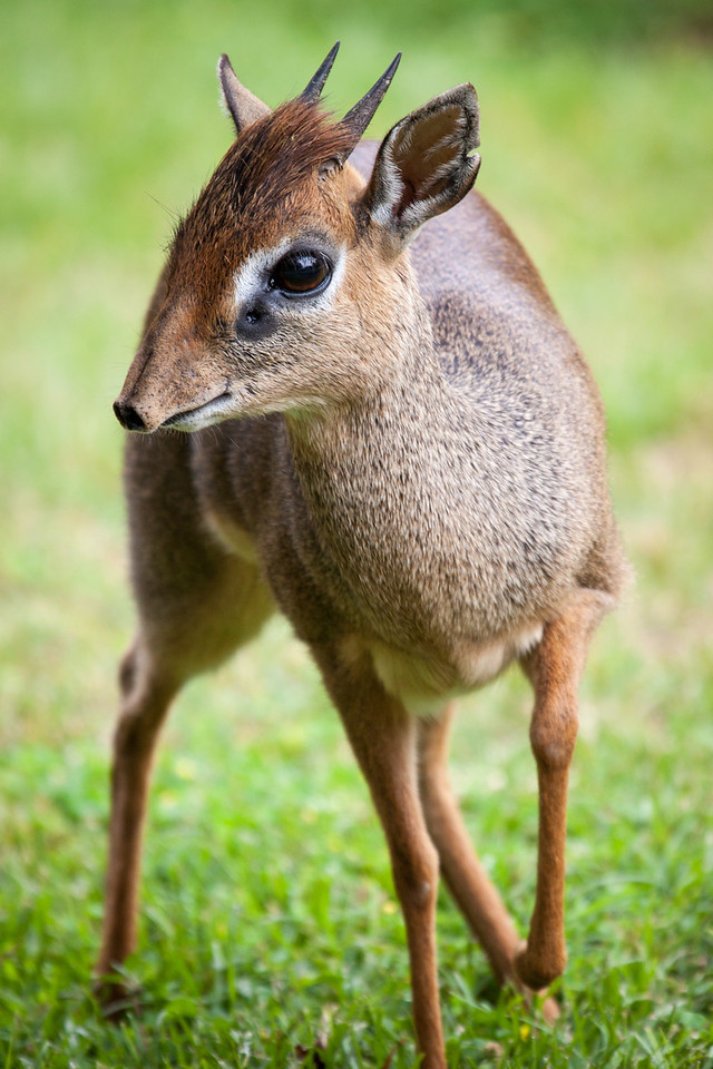 Our first wildlife was the dik diks that were roaming the Lodge's spacious grounds. The dik dik is about 2 feet tall.