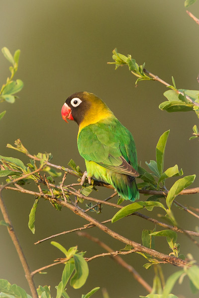 Another gorgeous bird, called the Lovebird because it is so affectionate.