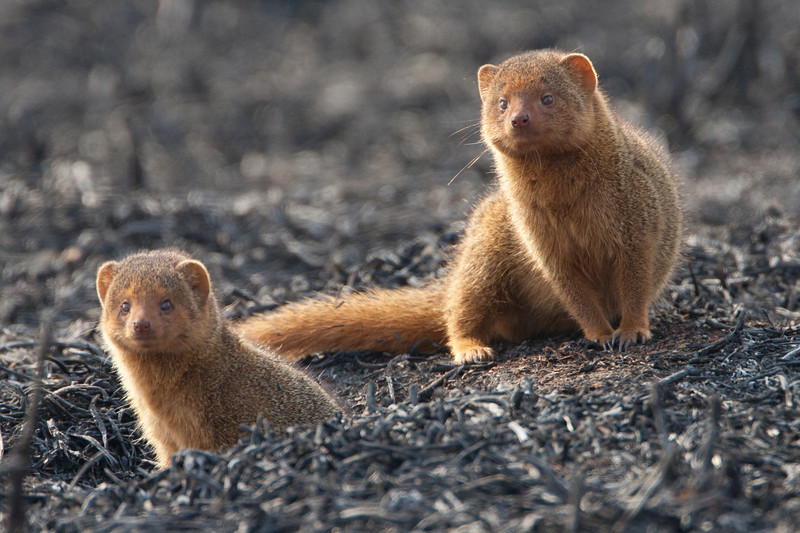 Popping up from their hole in a control-burned part of the Tarangire Park are these Dwarf Mongooses. The smallest African carnivore, dwarf mongooses like to eat insects, especially termites.
