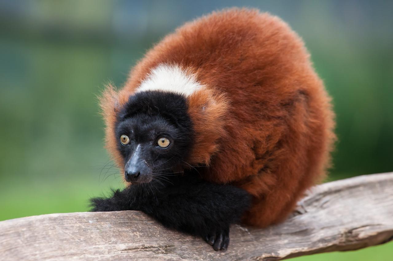 A wide-eyed lemur.