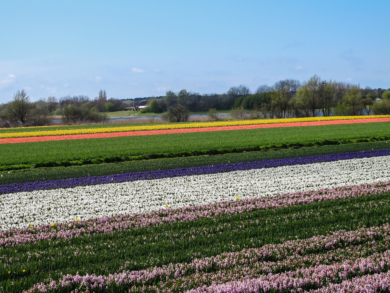 And more tulips....but this time viewed from our bikes as we began our 6-day trip through the countryside.