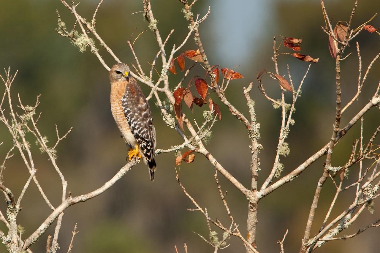 Red-shouldered hawk, Lake Woodruff WLR, Deland