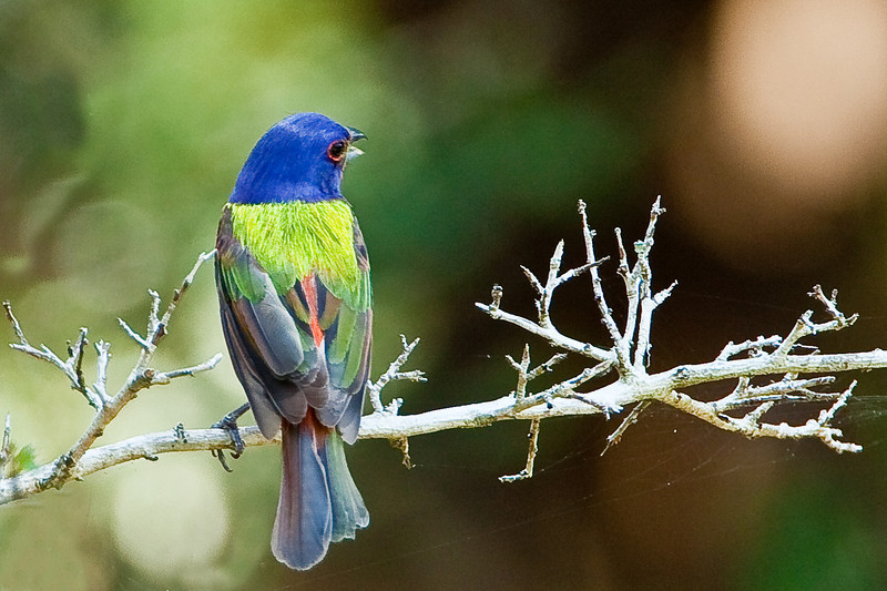 Painted bunting, Corkscrew Swamp Sanctuary, Ft. Myers