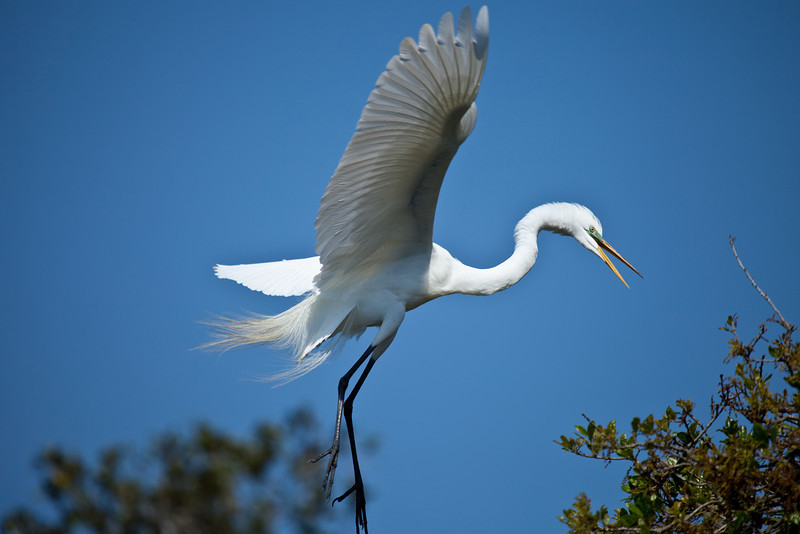 Great egret, Alligator Farm, St. Augustine