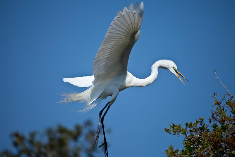 Great egret, Alligator Farm, St. Augustine