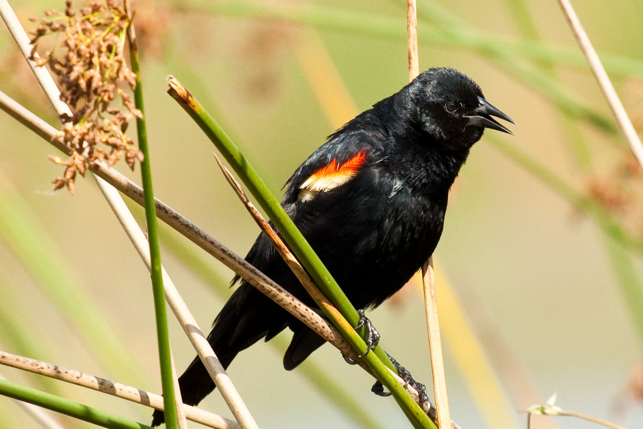 Red-winged black bird, Orlando Wetlands Park